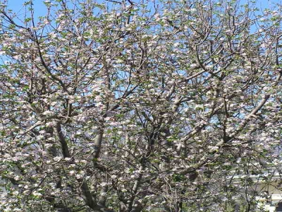 Apple in blossom