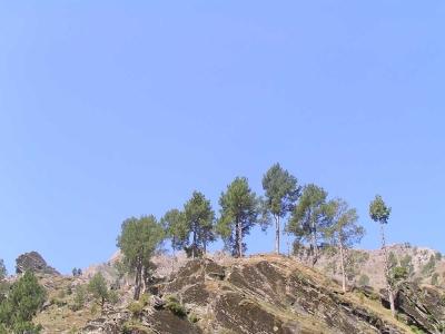 pine trees on rock